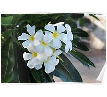 Frangipani or Yellow and White Flower Barbados Spring  If you like, please purchase, try a cell phone cover thanks Poster