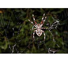 Orb Weaving Spider Photographic Print