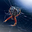 Spider in the grass by SherbrookePhoto