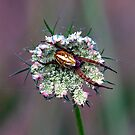 Spider on a flower by SherbrookePhoto