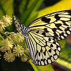 Flower Paper Kite - Idea leuconoe by Lepidoptera
