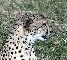 Cheetah with a Bad Hair Day by Terence Russell