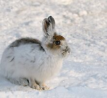 Winter Snowshoe Hare by Heather Pickard