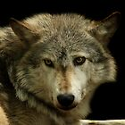 Wolf Portrait by Mark Hughes