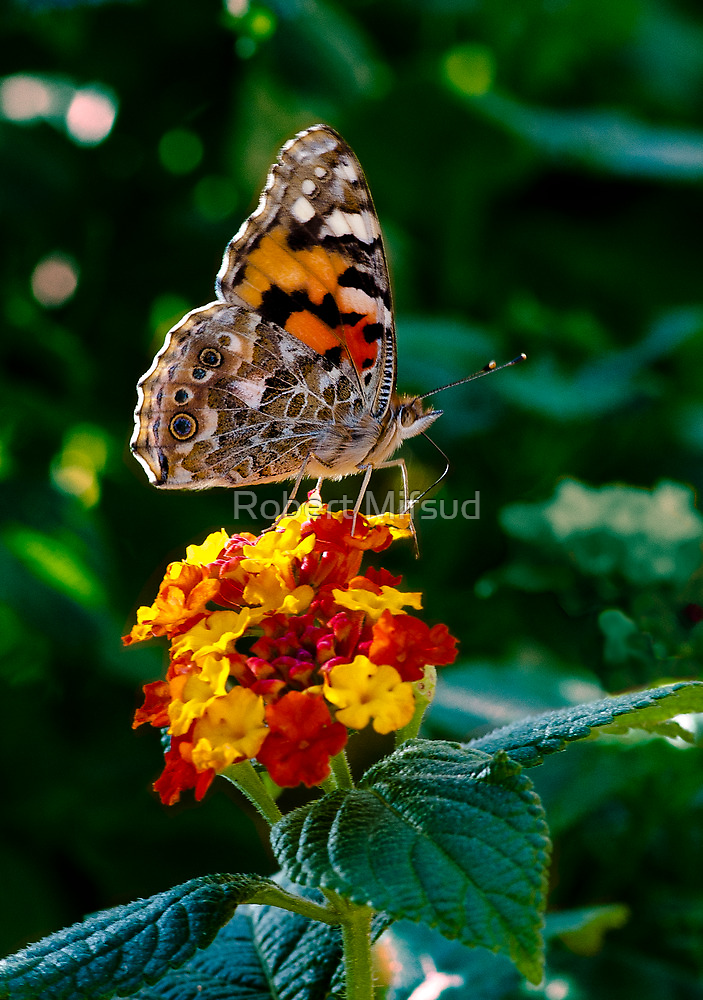 Painted Lady Butterfly by Robert Mifsud