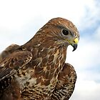 Buzzard - Gloucester by Daniel Warner-Meanwell