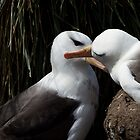 Nesting Black-browed Albatross by Coreena Vieth