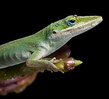 Macro Anole by Angi Wallace
