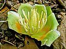 Tulip Poplar (Liriodendron tulipifera) Flower by MotherNature