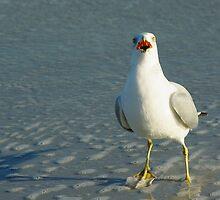 Ring-Billed Gull by Karen Checca