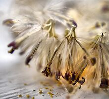 Gerbera Seeds by Karen Martin