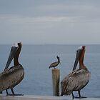 Three brown pelicans by Ben Waggoner