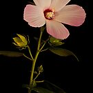 Hibiscus Portrait by onyonet photo studios