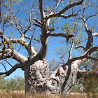 Kimberley Boab Tree near Winjana Gorge by Nada  Pantle