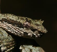 Eyelash viper - Bothriechis schlegelii up close and personal by apgdphoto