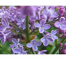 May Lilacs chattering away Photographic Print