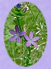 Venus' Looking Glass (Triodanis perfoliata) by MotherNature