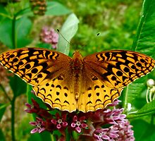 Great Spangled Fritillary (Speyeria cybele) on Milkweed by MotherNature
