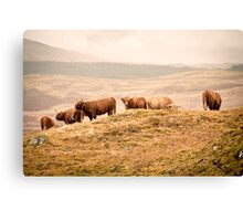 Higland Cows Canvas Print
