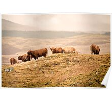 Higland Cows Poster