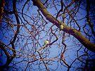 Parakeets, Eltham Palace by Lisa Hafey