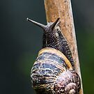 Snail by Martina Fagan