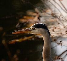 heron concentrating by chrisdeschepper