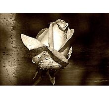 Rose w/ Droplets Photographic Print