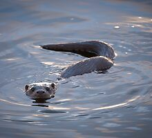 Otter Cub Swimming in Windermere by memaddock