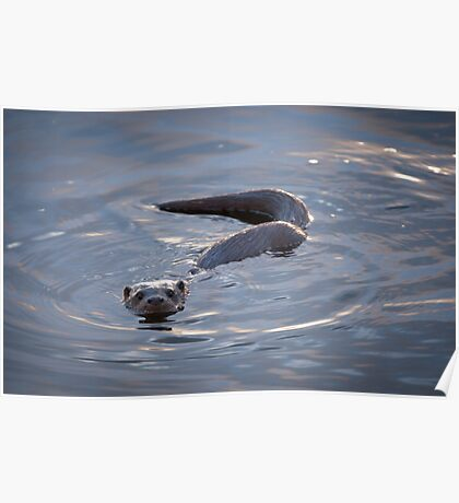 Otter Cub Swimming in Windermere Poster