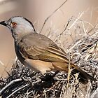 Crested Bell Bird - Bowra Station - Cunnamulla by Alwyn Simple