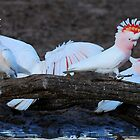 Major Mitchell Cockatoos at the waterhole - Bowra Station. by Alwyn Simple