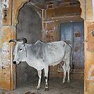 Guard Cow, Jaiselmir, Rajasthan, India by RIYAZ POCKETWALA