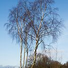 Silver Birch, Banstead Common, Surrey by physiognomic