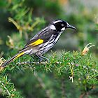 New Holland Honeyeater - Ulan NSW by Alwyn Simple