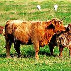 Highland Cattle by Daniel Warner-Meanwell