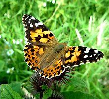 Tortoiseshell Butterfly by Daniel Warner-Meanwell