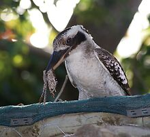 Kookaburras Breakfast -1 0f a series of 10 pictures Bowen North Queensland by Leigh McGree