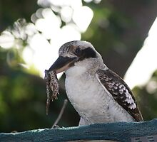 Kookaburras Breakfast -3 0f a series of 10 pictures Bowen North Queensland by Leigh McGree