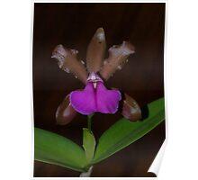 Cattleya bicolor var. brasiliensis Poster