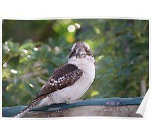 Kookaburras Breakfast - 4 0f a series of 10 pictures Bowen North Queensland Poster