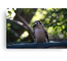 Kookaburras Breakfast -2 0f a series of 10 pictures Bowen North Queensland Canvas Print