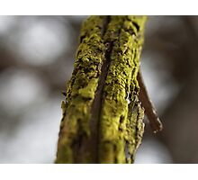 Moss covered branch Photographic Print