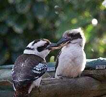 Kookaburras Breakfast - 9 0f a series of 10 pictures Bowen North Queensland by Leigh McGree