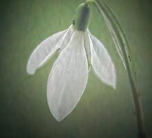 Snowdrop by Karen  Betts