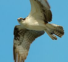 Osprey Eye to Eye by Heather Pickard