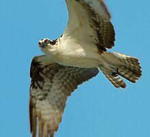 Osprey Eye to Eye by Heather Pickard