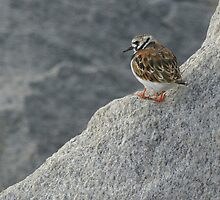 Ruddy Turnstone on the Edge by Heather Pickard