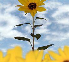 sunflower  by morrbyte