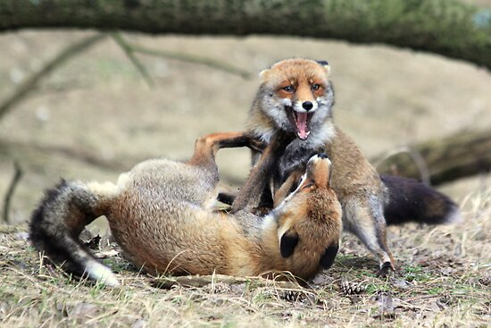 Red Foxes Fighting by DutchLumix